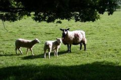 sheep-fencing.jpg